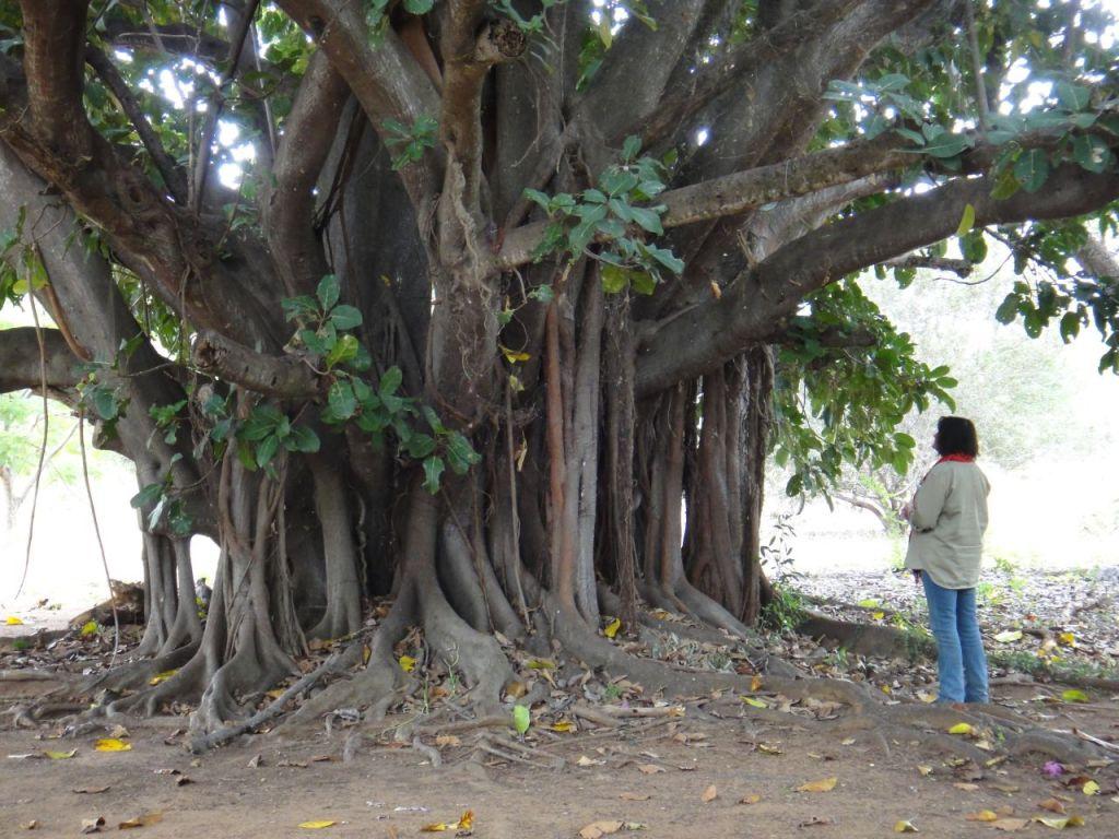 The Old Fig tree on Timbavati Land